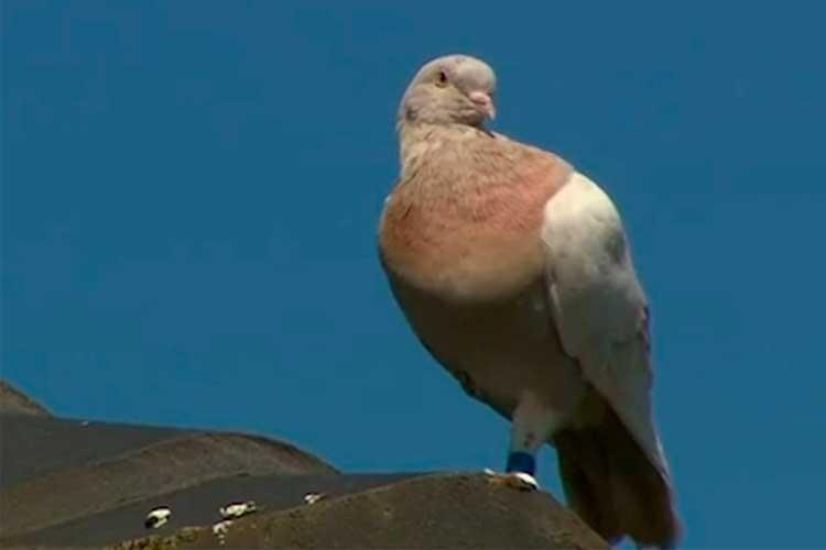 Según las autoridades australianas la paloma que habría volado desde estados Unidos no cumplía los protocolos de bioseguridad y los requisitos de importación.
