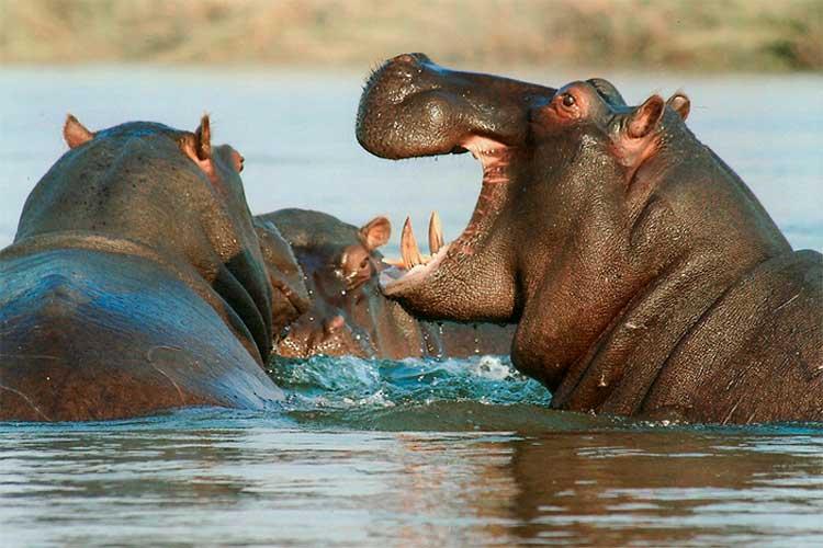 Sacrificar hipopótamos Pablo Escobar