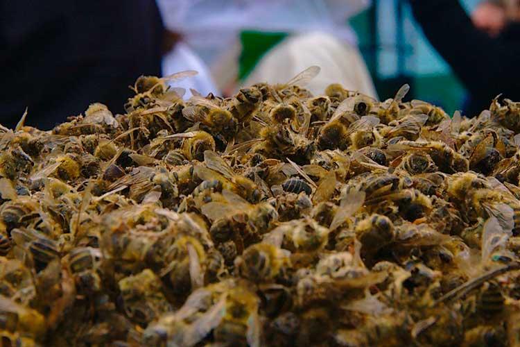 envenenamiento abejas Quimbaya y Montenegro