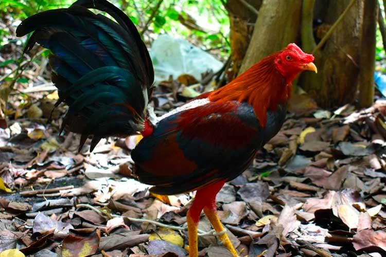 Gallo de pelea mató a su dueño con un cuchillo atado a su pata