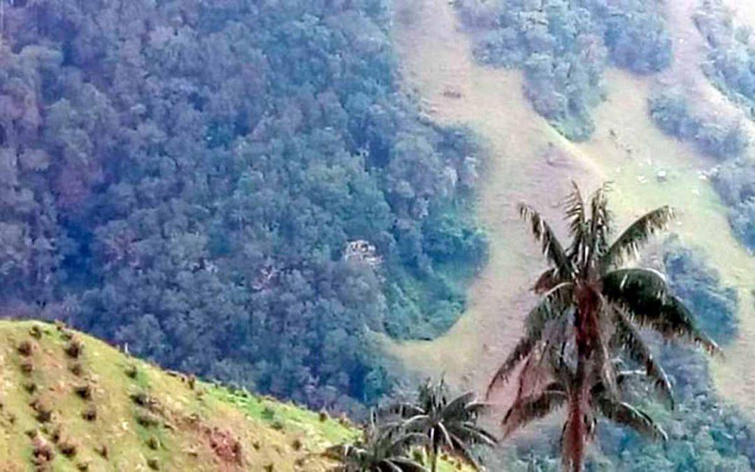 Nuevas denuncias de siembra de aguacate hass cerca a la palma de cera en Pijao
