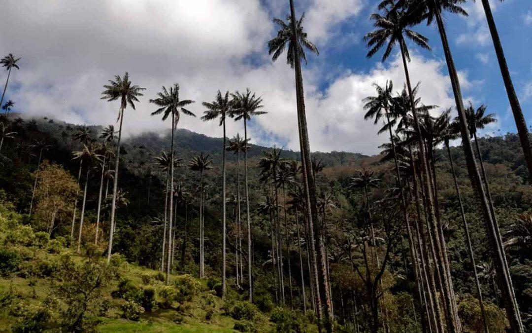 Retiraron más de 800 árboles de aguacate hass que impactaban la palma de cera en el Quindío