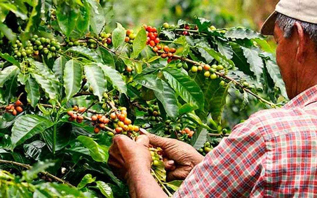 recolectores café Quindío mayores 60 años
