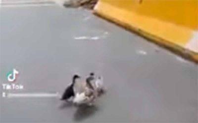Video de camionero que ayudó a cruzar familia de patos en La Línea se hace viral