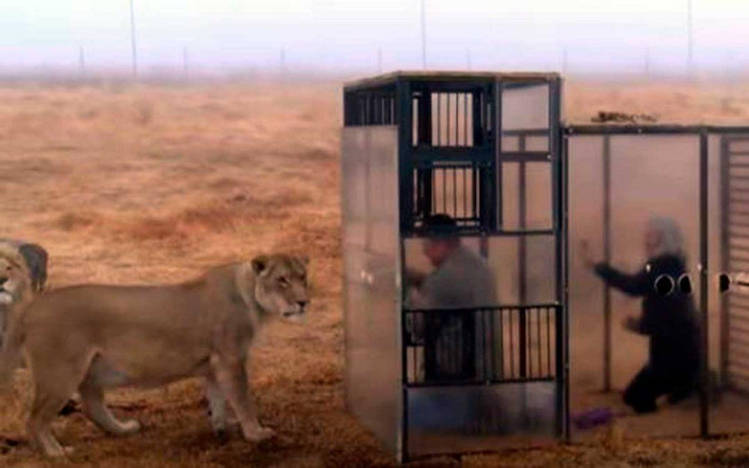 """""""Zoológico inverso"""", encierran a humanos para que los visiten leones"""