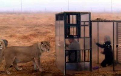 «Zoológico inverso», encierran a humanos para que los visiten leones