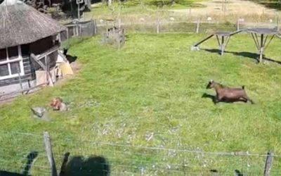 Un gallo y una cabra salvaron a su amiga gallina de un halcón