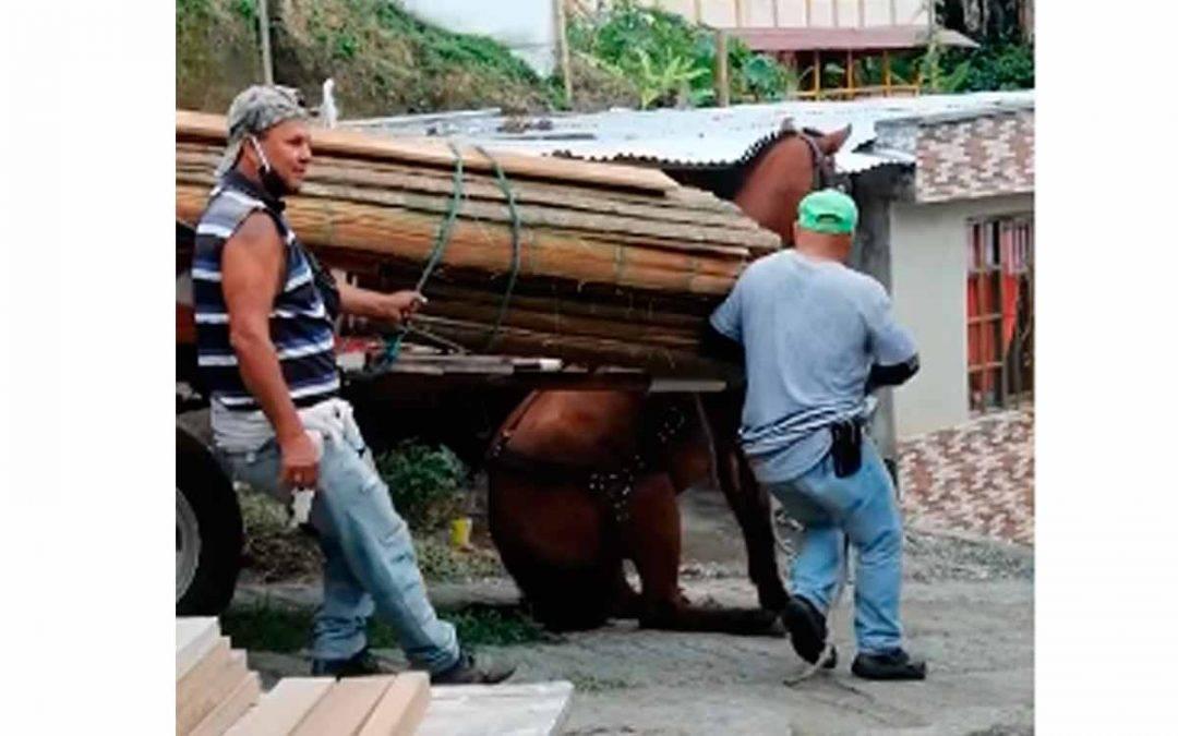 indignante caso de maltrato a un caballo en Calarcá